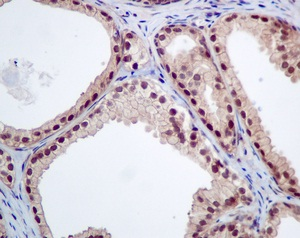 Immunohistochemistry (Formalin/PFA-fixed paraffin-embedded sections) - Anti-LOC51035 antibody [EPR9136] (ab151723)