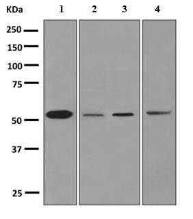 Western blot - Anti-Cytochrome P450 1A2  antibody [EPR6138(2)] (ab151728)