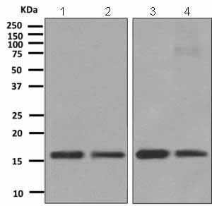 Western blot - Anti-TCEB2 antibody [EPR10440(B)] (ab151743)