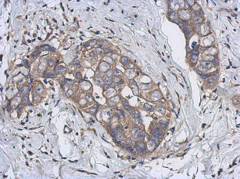 Immunohistochemistry (Formalin/PFA-fixed paraffin-embedded sections) - Anti-Cytochrome p450 2J2 antibody (ab151996)