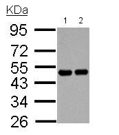 Western blot - Anti-RCC1 antibody (ab152156)