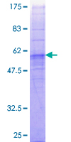 SDS-PAGE - GPCR GPR43 protein (Tagged) (ab152436)