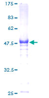 SDS-PAGE - HSF2 protein (Tagged) (ab152461)