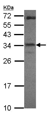 Western blot - Anti-CREM antibody (ab153723)