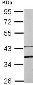 Western blot - Anti-Fbx15 antibody (ab153742)