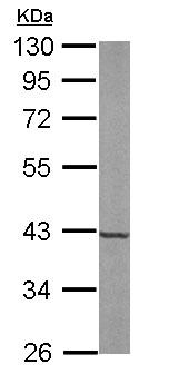 Western blot - Anti-FDPS antibody (ab153805)