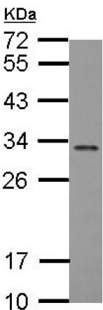 Western blot - Anti-FGF13 antibody (ab153808)