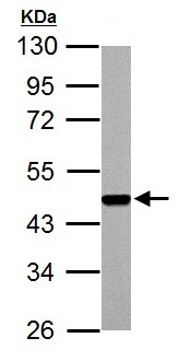 Western blot - Anti-FEN1 antibody (ab153825)