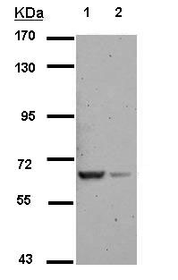 Western blot - Anti-RAB11FIP5 antibody (ab153843)