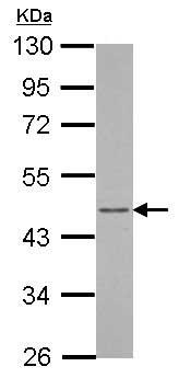 Western blot - Anti-ARFIP1 antibody (ab153881)