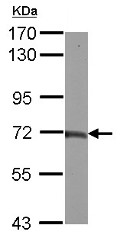 Western blot - Anti-TAB2 antibody (ab153882)