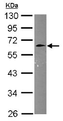 Western blot - Anti-Cyclin M3 antibody (ab153891)