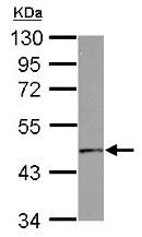 Western blot - Anti-GPCR GPR10 antibody (ab153893)