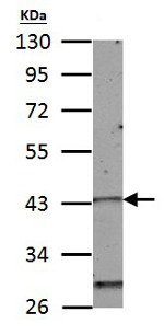 Western blot - Anti-Homeo box C10 antibody (ab153904)