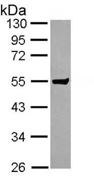 Western blot - Anti-CLUL1 antibody (ab153916)