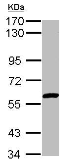 Western blot - Anti-ZNF345  antibody (ab153921)
