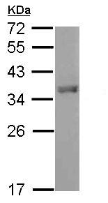 Western blot - Anti-FOXI1 antibody (ab153935)
