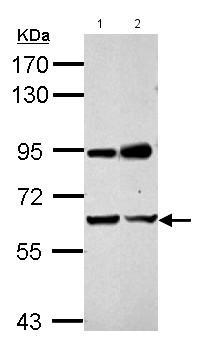 Western blot - Anti-NARF antibody (ab153936)