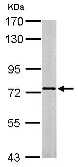 Western blot - Anti-SCMH1 antibody (ab153937)