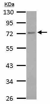 Western blot - Anti-GCP4 antibody (ab153939)