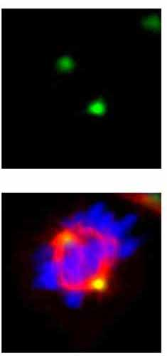 Immunocytochemistry/ Immunofluorescence - Anti-GCP4 antibody (ab153939)