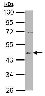 Western blot - Anti-EML2 antibody (ab153948)
