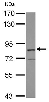 Western blot - Anti-RASGRP3 antibody - N-terminal (ab153950)