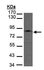 Western blot - Anti-GIT1 antibody (ab153958)