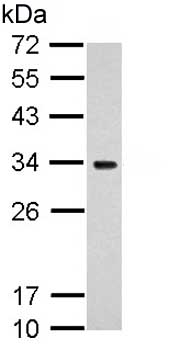 Western blot - Anti-MRPS18B antibody (ab153968)