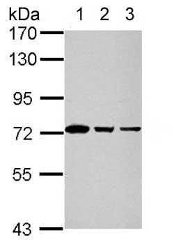 Western blot - Anti-GTPBP4 antibody (ab153977)