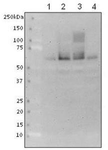 Western blot - Anti-SYT2 antibody [ZNP-1] (ab154035)