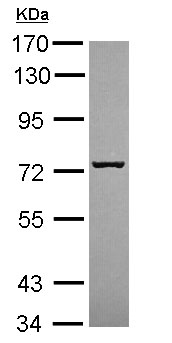 Western blot - Anti-SCFD1 antibody (ab154096)