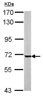 Western blot - Anti-GCKR antibody (ab154120)