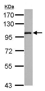 Western blot - Anti-SLC9A8 antibody (ab154127)
