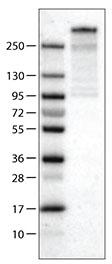 Western blot - Anti-PCM1 antibody [CL0206] (ab154142)