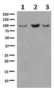 Western blot - Anti-USP5 antibody [EPR10454] (ab154170)