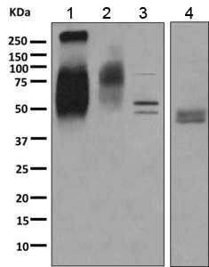 Western blot - Anti-ChT1 antibody (ab154186)