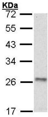 Western blot - Anti-ATP5O antibody (ab154232)