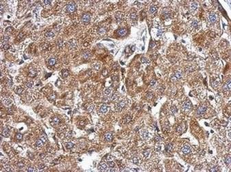 Immunohistochemistry (Formalin/PFA-fixed paraffin-embedded sections) - Anti-KCTD3 antibody - C-terminal (ab154242)