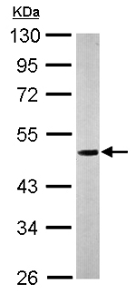 Western blot - Anti-Nucleobindin 1 antibody (ab154262)