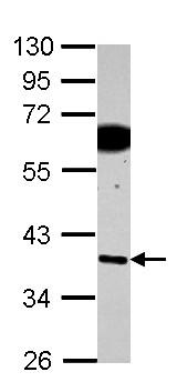 Western blot - Anti-SDF4 antibody (ab154283)