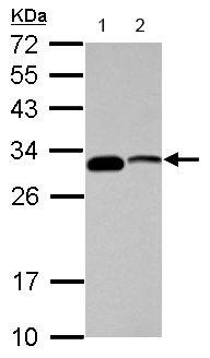 Western blot - Anti-CENPP antibody (ab154328)