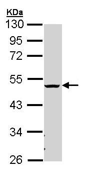 Western blot - Anti-CHST6 antibody (ab154332)