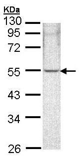 Western blot - Anti-ARHGAP1 antibody (ab154338)