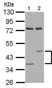 Western blot - Anti-Lysosomal acid lipase antibody (ab154356)