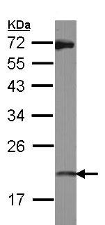 Western blot - Anti-ISG20 antibody (ab154393)