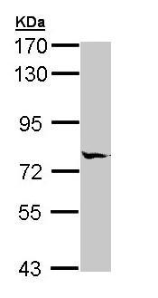 Western blot - Anti-MIPEP antibody (ab154407)