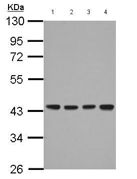 - Anti-DNAJB12 antibody (ab154410)