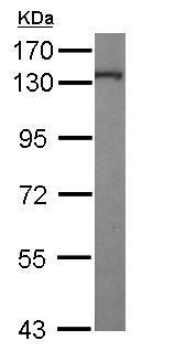 Western blot - Anti-Kinesin 5A antibody - C-terminal (ab154414)