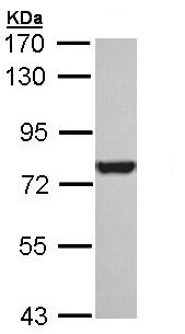 Western blot - Anti-Hsc70 antibody (ab154415)